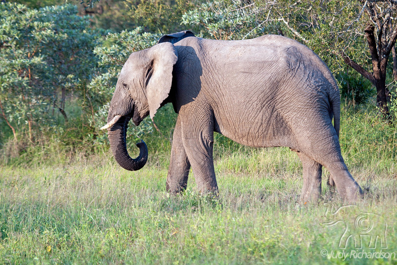 Elephant drinking water from small puddle