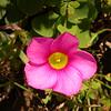 Za 0006 Oxalis purpurea
