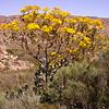 Za 0463 Othonna parviflora