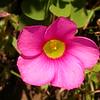 Za 0007 Oxalis purpurea