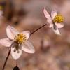 Za 4153 Pharnaceum lanatum