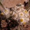 Za 4158 Helichrysum spec