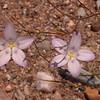 Za 4160 Wahlenbergia annularis