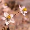 Za 4152 Pharnaceum lanatum