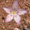 Za 4161 Wahlenbergia annularis