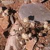 Za 4157 Helichrysum spec