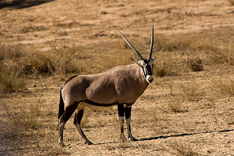 Gemsbok - Male