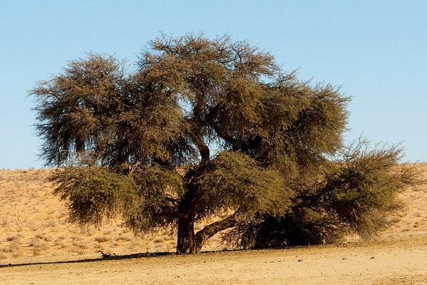 Acacia Tree - aka The Thorn Tree