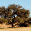 Acacia Tree - aka The Thorn Tree