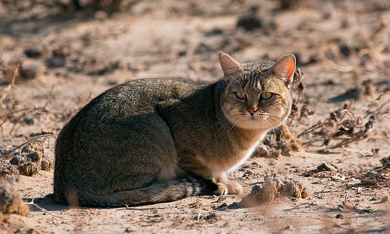 African Wild Cat - Kgalagadi Transfrontier Park