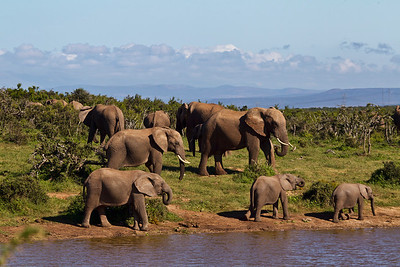 Elephants-Addo-E08C8342-1600