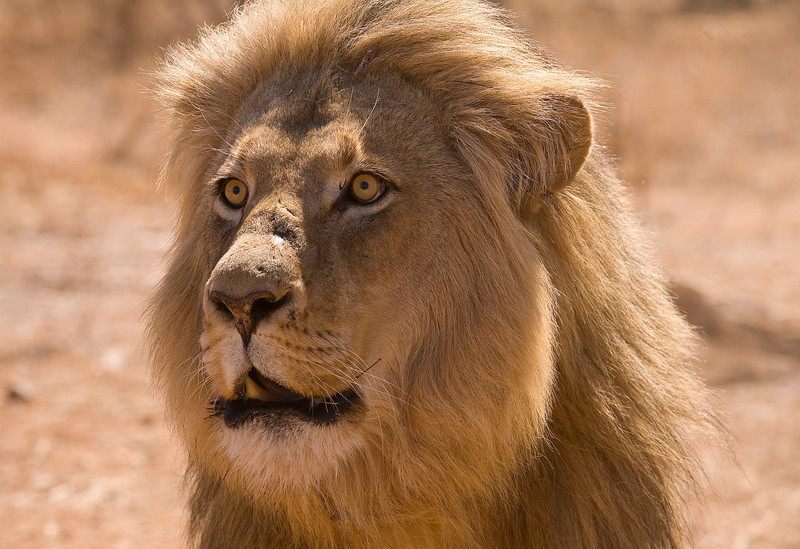 Male Lion in Kruger National Park, South Africa