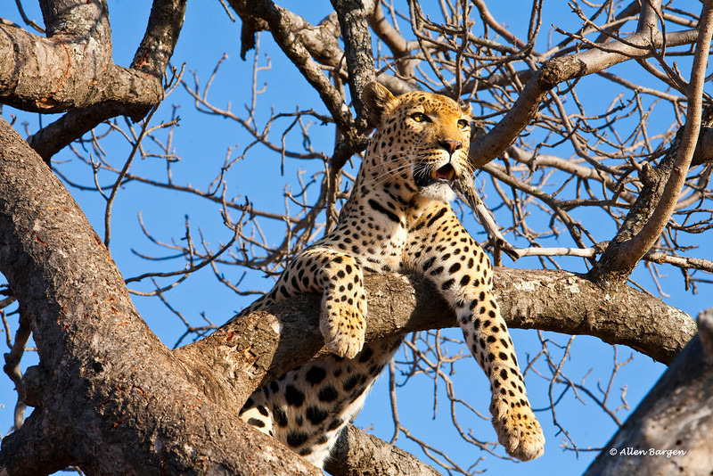 A Male Leopard rests on a tree limb