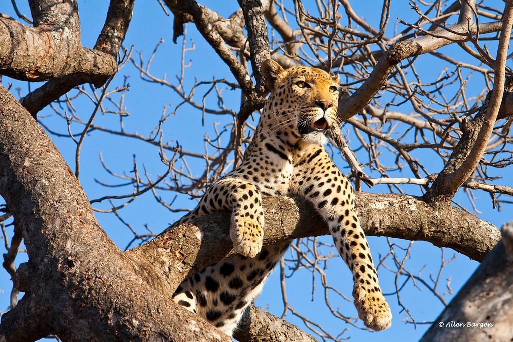 A Male Leopard rests on a tree limb