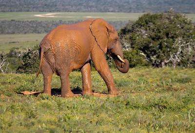 Bull Elephant finds a special mudhole to coverhimself, near the Valley of Desolation, South Africa