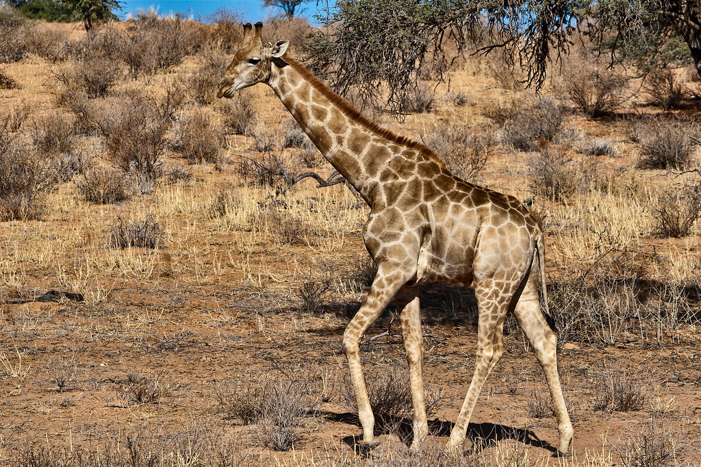 Young Giraffe in the Kgalagadi National Park.