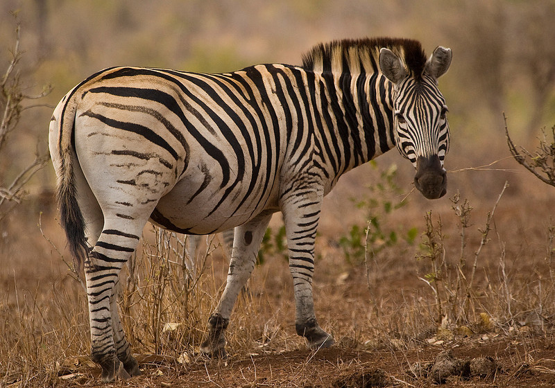 A Zebra looks back at us
