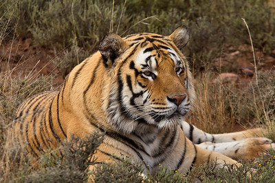 Wild Male Tiger - (Panthera tigris). Taken at Tiger Canyon in the Karoo, South Africa at the reserve created by John Varty. For more information on this remarkable man and his Tiger refuge, go to http://www.jvbigcats.co.za/