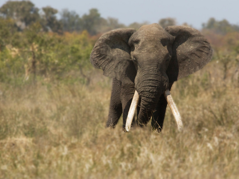 African elephants are the species of elephants in the genus Loxodonta, one of the two existing genera in Elephantidae