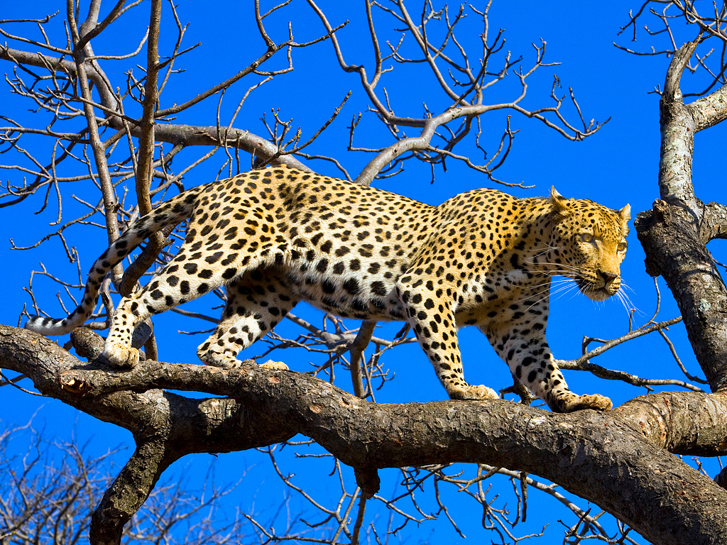 Male Leopard coming down from his favorite tree, Kruger, South Africa