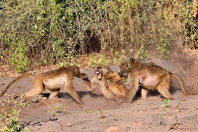 Baboon_Fight-08C8868-1600