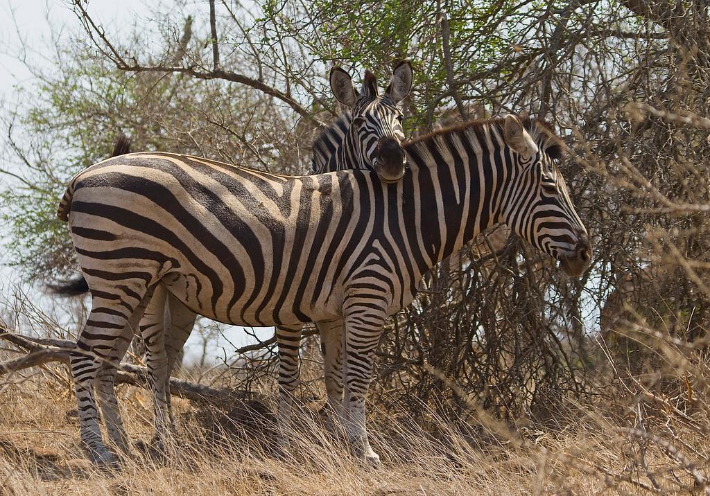 Zebra friends
