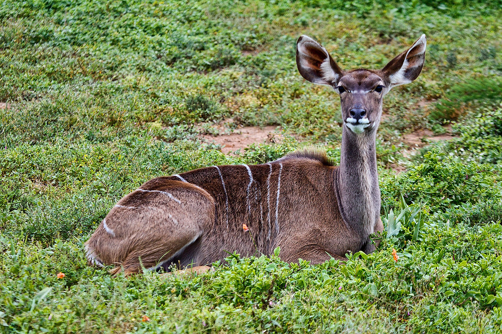 Nyala Female - The Nyala (Tragelaphus angasii) is a Southern African antelope. It is a spiral-horned dense-forest antelope that is uncomfortable in open spaces and is most often seen at water holes. Nyalas live alone or in small family groups of up to 10 individuals.[