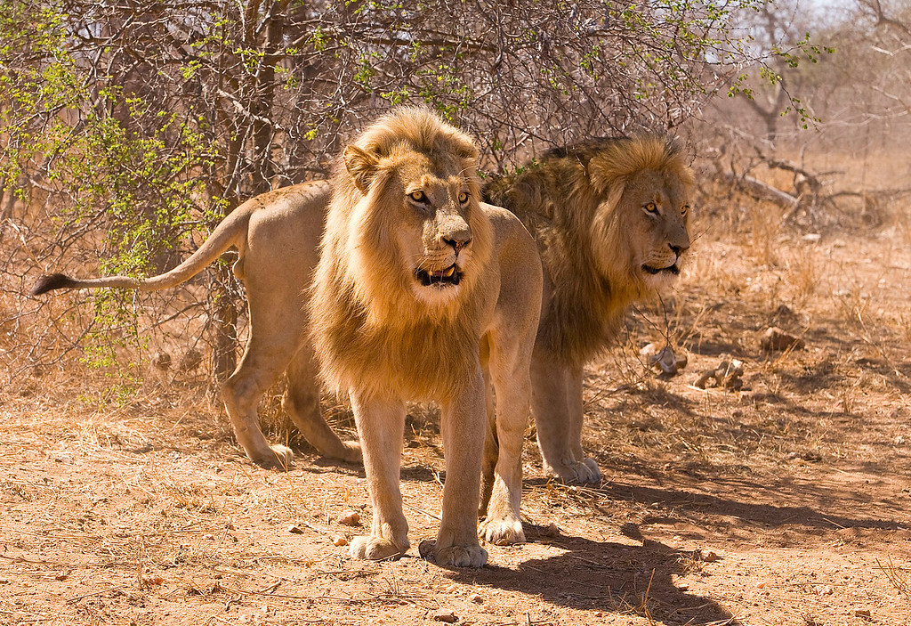 Male Lions react to our vehicle