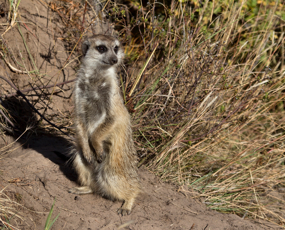 """The meerkat or suricate Suricata suricatta, a small mammal, is a member of the mongoose family. Meerkats live in all parts of the Kalahari Desert in Botswana and in South Africa. A group of meerkats is called a """"mob"""", """"gang"""" or """"clan"""". A meerkat clan often contains about 20 meerkats, but some super-families have 50 or more members. Meerkats have an average life span of 12–14 years."""