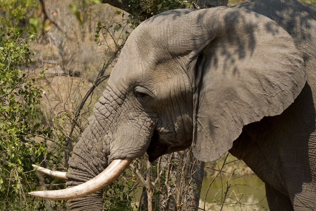 Because of hunting and poaching for Ivory, large tusked elephants are mostly a thing of the past, though scientists claim they can reintroduce them again. Kruger elephants in general have larger tusks than those in Botswana or elsewhere in Africa