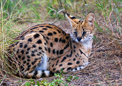 The serval, Leptailurus serval, is a medium-sized African wild cat. Modern molecular DNA analysis indicates that servals maintain their own unique lineage descending from the same Felid ancestor as the lion. The serval shares common traits with the cheetah, and it is the cheetah which is thought to have descended from ancient servals.[3] Similar DNA studies have shown the African golden cat and the caracal are closely related to the serval. (Compliments of Wikipedia)