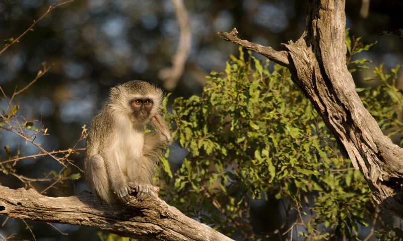 A Vervet Monkey scratches an itchy spot