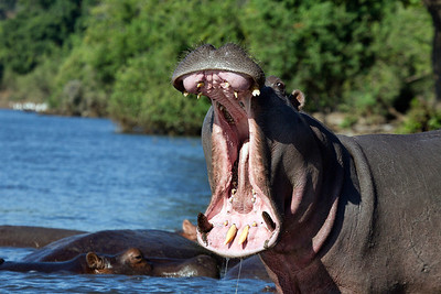 A Male Hippo bellows his disaprovement at our proximity. Botswana.