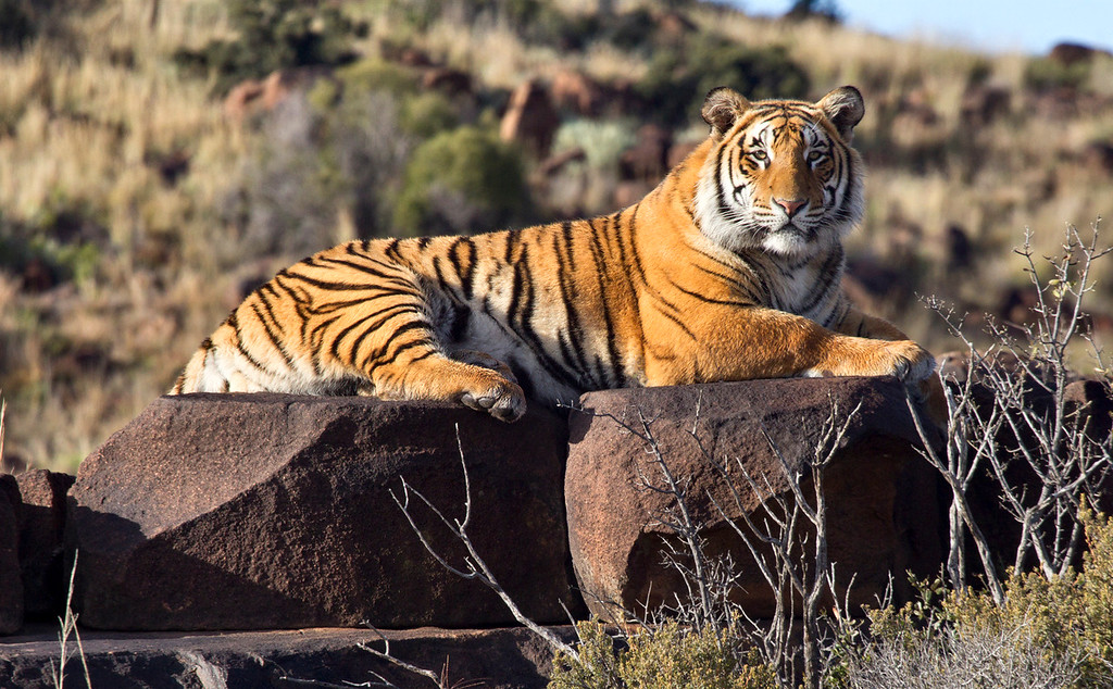 """Wild Male Tiger - (Panthera tigris) sunning on his favorite rock. Taken at Tiger Canyon in the Karoo, South Africa at the reserve created by John Varty. For more information on this remarkable man and his Tiger refuge, go to <a href=""""http://www.jvbigcats.co.za/"""">http://www.jvbigcats.co.za/</a>"""