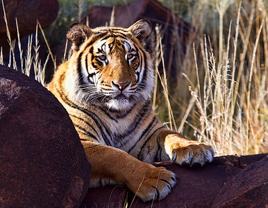 Wild Male Tiger - (Panthera tigris). Taken at Tiger Canyon in the Karoo, South Africa at the reserve created by John Varty. For more information on this remarkable man and his Tiger refuge, go to http://www.jvbigcats.co.za/ edit