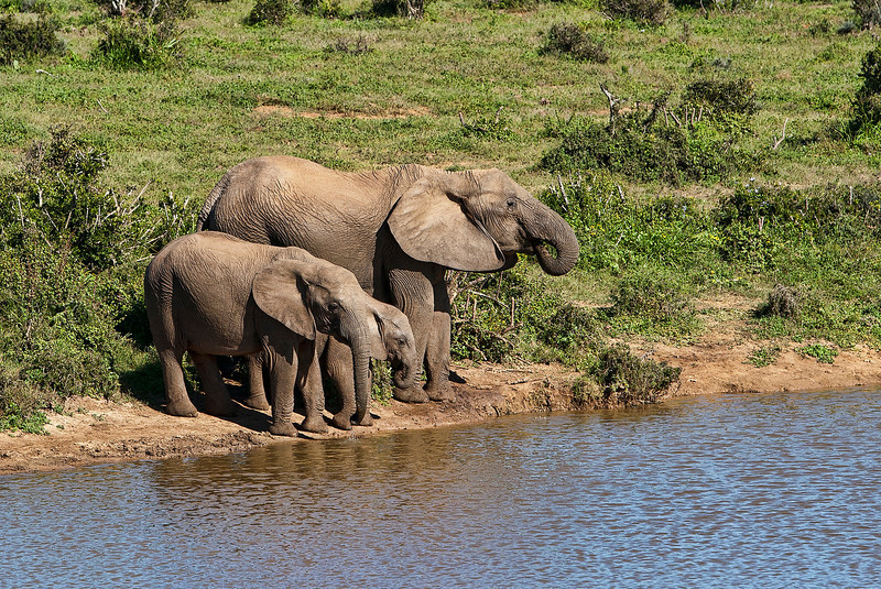 An Elephant Matriarc with her offspring from this year and last, stop to drink at a water hole in Addo elephant park.