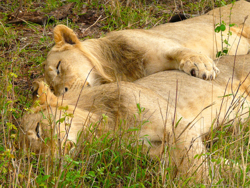 Two lions cuddle during a late afternoon nap.