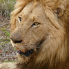 lion-south-africa