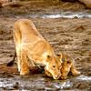 Lions-drinking-madikwe