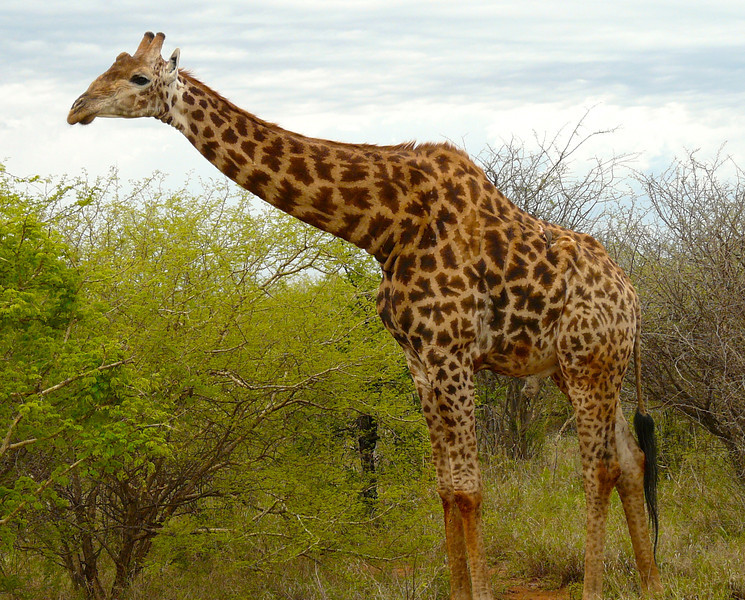 Giraffe reaches over the trees in Madikwe Private Game Reserve.