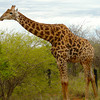 giraffe-madikwe-south-africa