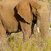 Old elephant in Madikwe Game Reserve