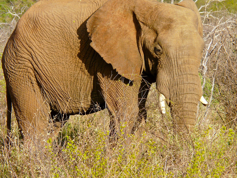 Elephant with a broken tusk standing in a field