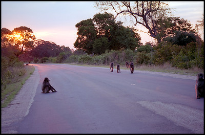 Baboons at sunrise, Kruger NP