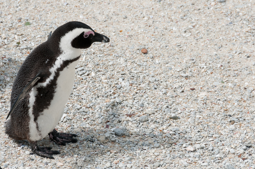 An african penguin in Boulder Beach, South Africa
