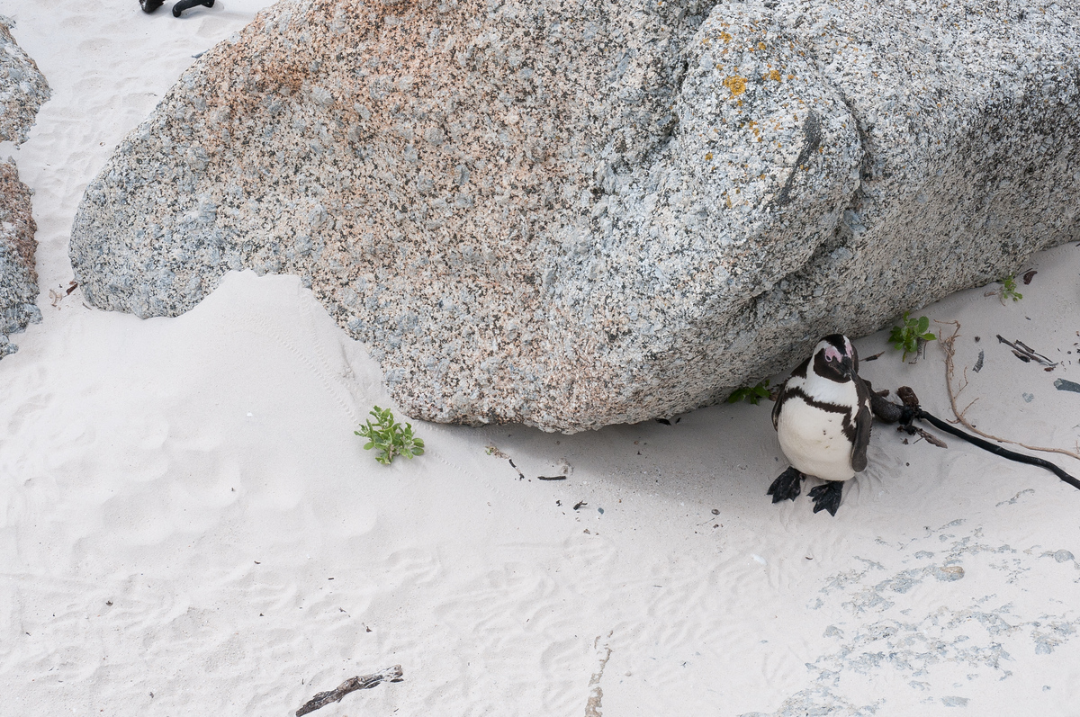 African penguin on Boulder Beach, South Africa
