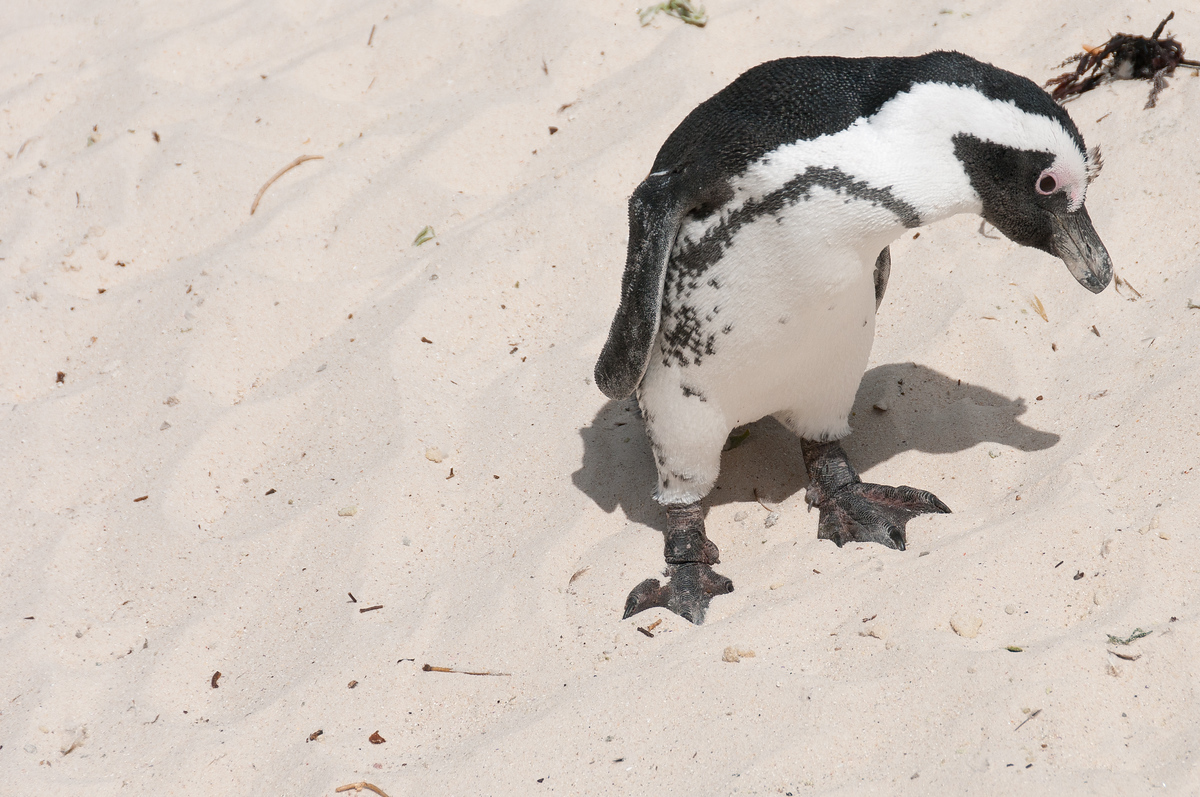 An african penguin on Boulders Beach, South Africa