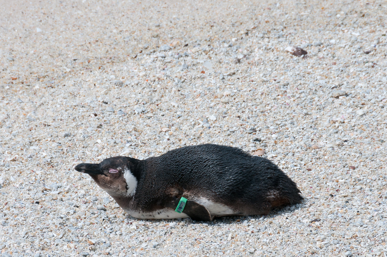 Penguin chick in Boulders Beach, South Africa