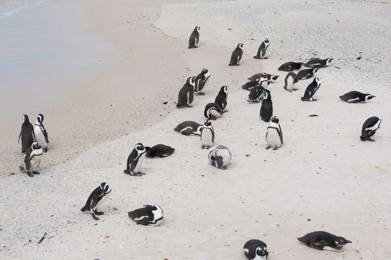 African Penguins in Boulders Beach, South Africa