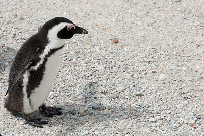 Penguin chick at Boulders Beach, South Africa
